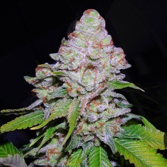 White Berry (VIP Seeds) féminisée
