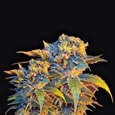 Colombian Sweet (VIP Seeds) féminisée