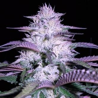 Currant Kush (VIP Seeds) féminisée