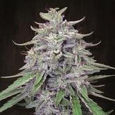 Bangi Haze (ACE Seeds) Femminizzata