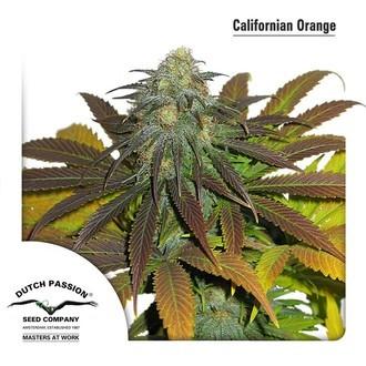 Californian Orange (Dutch Passion) féminisée