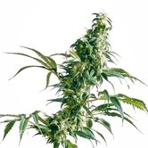 Mexican Sativa (Sensi Seeds) régulière/feminizee