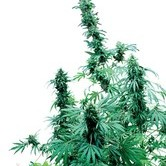 Early Skunk (Sensi Seeds) standard