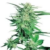 Big Bud ( Sensi Seeds) régulière