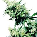 Hash Plant (Sensi Seeds) régulière