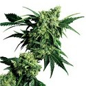 Mr. Nice G13 x Hash Plant (Sensi Seeds) régulière