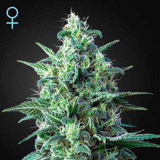 White Widow Auto CBD (Greenhouse Seeds) féminisée