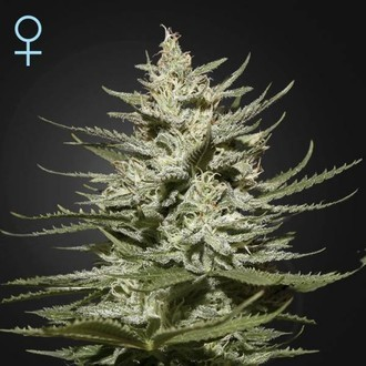 The Church CBD (Greenhouse Seeds) féminisée