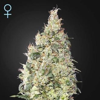 Great White Shark CBD (Greenhouse Seeds) féminisée