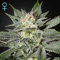 King's Kush CBD (Greenhouse Seeds) féminisée