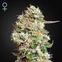 King's Kush Autoflowering CBD (Greenhouse Seeds) féminisée