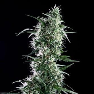 Santa Bilbo (Genehtik Seeds) féminisée