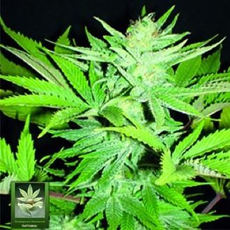 Homegrown Lowryder (Homegrown Fantaseeds) Féminisée