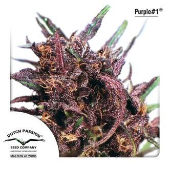 Purple 1 (Dutch Passion) féminisée
