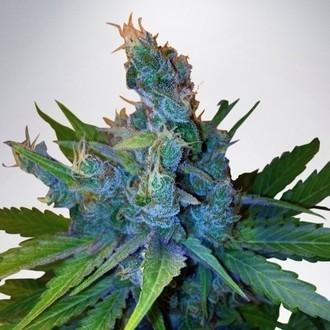 Hay-Z (Ministry of Cannabis) féminisée