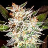 Delicious Candy Auto (Delicious Seeds) Femminizzata