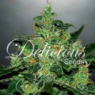 Critical Jack Herer Auto (Delicious Seeds) féminisée