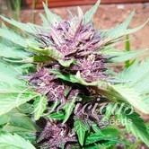 Auto Dark Purple (Delicious Seeds) féminisée