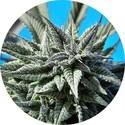 Auto Tao Blueberry (Top Tao Seeds) réguliere