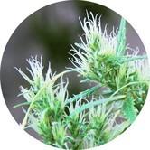 CBD Haze Auto (Top Tao Seeds) regulär