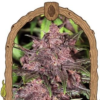 Black Haze (Exotic Seed) féminisée