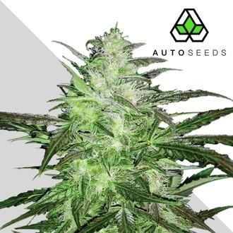 Auto Chemdog (Auto Seeds) Féminisée