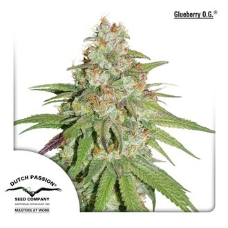 Glueberry OG (Dutch Passion) féminisée