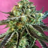 Sweet Nurse Auto CBD (Sweet Seeds) feminisiert