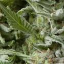 Auto Alpujarreña (Pyramid Seeds) féminisée