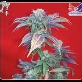 Purple Haze 1 (Positronics) féminisée