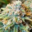 CBD Medi Kush (Spliff Seeds) féminisée