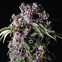 Purple (Pyramid Seeds) feminisee