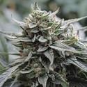 Lemon Head (Dark Horse Genetics) Régulière