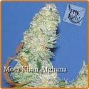 Mota Khan Afghana (Elite Seeds) féminisée