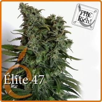 Elite 47 (Elite Seeds) féminisée