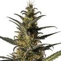 Candida (CD-1) (Medical Marijuana Genetics) Femminizzata