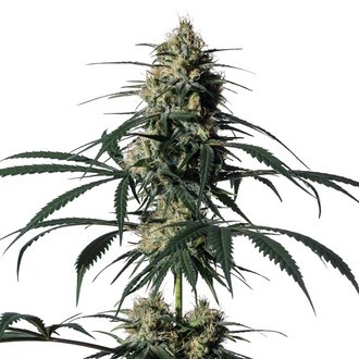 Hiydrow (HY-1) (Medical Marijuana Genetics) féminisée