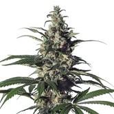 Green Doctor (GD-1) (Medical Marijuana Genetics) feminisee