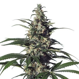 Green Doctor (GD-1) (Medical Marijuana Genetics) feminisee