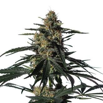 Nightingale (NN-1) (Medical Marijuana Genetics) féminisée