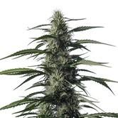 Txaki (TX-1) (Medical Marijuana Genetics) féminisée