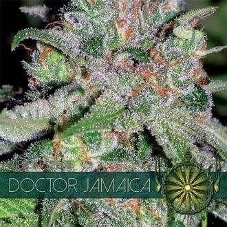 Doctor Jamaica (Vision Seeds) féminisée