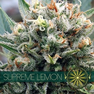 Supreme Lemon (Vision Seeds) féminisée