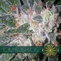 Tom Kush OG (Vision Seeds) Féminisée