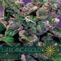 La Blanca Gold Autoflowering (Vision Seeds) féminisée
