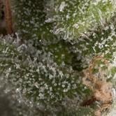 Auto Fresh Candy (Pyramid Seeds) Féminisée