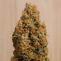 Green Crack CBD (Humboldt Seeds) Féminisée