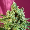 S.A.D. Sweet Afgani Delicious CBD (Sweet Seeds) feminisee