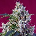 Indigo Berry Kush (Sweet Seeds) féminisée