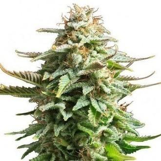 Pineapple Kush (Zativo Seeds) féminisée